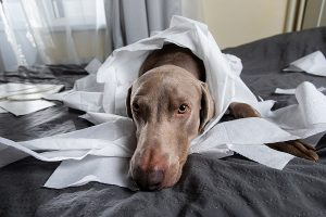 photo of dog with guilty expression after destroying white paper writer's portfolio
